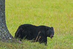 Ein schwarzer Bär, der Walnüsse unter einem Walnussbaum isst. lizenzfreies stockbild