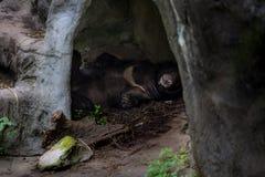 Ein schwarzer Bär Erwachsener Formosas, der in der Höhle schläft stockfotografie