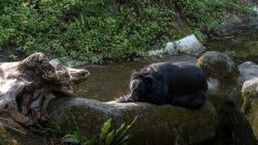 Ein schwarzer Bär Erwachsener Formosas, der sich auf dem Felsen im Wald hinlegt lizenzfreies stockfoto
