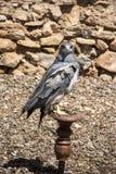 Ein schwarzer Chested Bussard Eagle auf einer Stange Lizenzfreie Stockfotos
