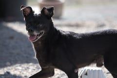 Ein schwarzer Chihuahua-Jack Russell Terrier-Hund stockfoto