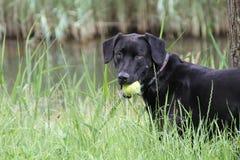 Ein schwarzer Hund, der mit einem Ball spielt Stockbild