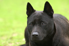 Ein schwarzer Hund gelegt auf die Wiese stockfoto