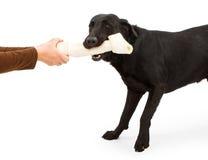 Ein schwarzer Labrador-Apportierhund, der mit einem Knochen spielt Lizenzfreies Stockbild