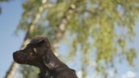 Ein schwarzer netter Welpe liegt auf der Inhaber ` s Hand nave Sommer stock footage