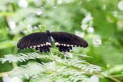Ein schwarzer Schmetterling auf Grünpflanzen lizenzfreies stockbild