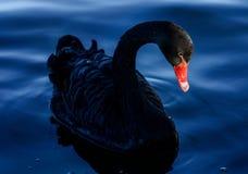 Ein schwarzer Schwan Stockfotos