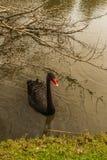 Ein schwarzer Schwan im Flussufer Lizenzfreies Stockbild