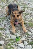 Ein schwarzer und brauner Hund Stockbilder