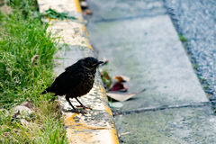 Ein schwarzer Vogel auf dem Fußweg, der auf einen Freund wartet Lizenzfreies Stockfoto