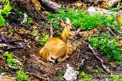 Ein Schwarzes angebundenes Rotwild auf Tod Mountain in BC Kanada lizenzfreie stockfotos