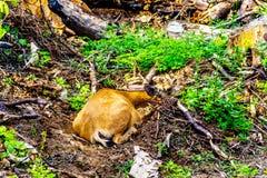 Ein Schwarzes angebundenes Rotwild auf Tod Mountain in BC Kanada stockbild