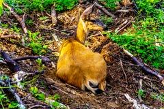 Ein Schwarzes angebundenes Rotwild auf Tod Mountain in BC Kanada stockfoto