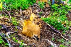 Ein Schwarzes angebundenes Rotwild auf Tod Mountain in BC Kanada lizenzfreie stockbilder