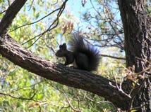 Ein schwarzes Eichhörnchen Stockfotos