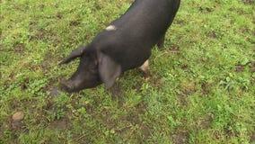 Ein schwarzes Schwein, das frei geht stock video footage