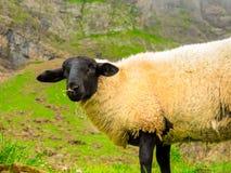 Ein schwarzköpfiges Schaf im Berg mit frischem grünem Gras an einem sonnigen Sommertag stockfotografie
