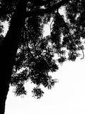 Ein Schwarzweiss-Baum stockfotos