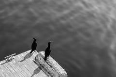 Ein Schwarzweiss-Hintergrundfoto von zwei Kormoranvögeln, die morgens auf einem Sonnenschein des Piers sitzen Lizenzfreies Stockbild