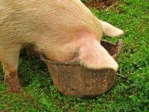 Ein Schwein mit seinem Kopf in einem Eimer Stockbilder