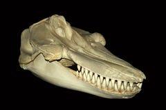 Ein Schwertwal-Schädel stockfotos