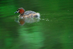 Ein Schwimmen-Wasser-Vogel Stockfotos