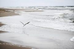 Ein Seemöwenvogelfliegen auf dem Strand durch die Ostsee, Polen, Frühlingszeit Stockfotografie