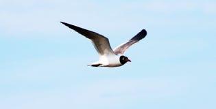 Ein Seeschwalbenfliegen im Himmel lizenzfreie stockfotos