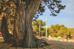 Ein sehr alter Baum mit der ausführlichen Barke umgeben durch den Decking, der einen sonnigen Strand übersieht Stockfoto