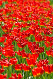 Ein sehr großes Feld der roten Tulpen lizenzfreies stockbild