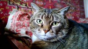Ein sehr großes Tier-` s Gesicht Die Katze liegt auf der Couch und schnüffelt Es riecht köstliches Lebensmittel oder Frischluft stock video