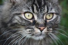Ein sehr netter langhaariger brauner und schwarzer Pussycat der getigerten Katze mit lang stockfotografie