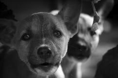 Ein sehr tiefer Blick solch eines kleinen Hundes der Stille stockfoto