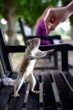 Ein sehr zahmes nettes graues Eichhörnchen isst aus jemand heraus Hand in einem lokalen Park Stockfoto