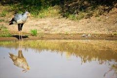 Ein Sekretärvogel nahe einem waterhole Lizenzfreie Stockbilder