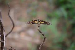 Ein selten gesehener Schmetterling Lizenzfreies Stockfoto