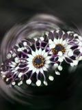 Ein seltenes Kapgänseblümchen Stockfoto