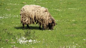 Ein Shaggy Sheep Graze With Happiness stockbilder