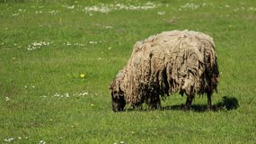 Ein Shaggy Sheep Graze With Happiness lizenzfreies stockbild