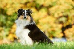 Ein Shetland-Schäferhund-Hund Lizenzfreies Stockfoto