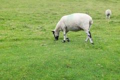Ein Shropshire-Schaf Lizenzfreie Stockfotos