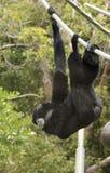 Ein Siamang Gibbon hängt von einem Seil Lizenzfreie Stockbilder