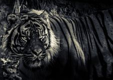 Ein sibirische Tiger-Auge Lizenzfreie Stockfotografie