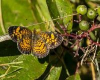 Ein sichelförmiger Schmetterling der schönen Perle lizenzfreies stockfoto