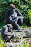 Ein sitzender Gorilla Stockbilder