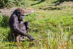 Ein sitzender Gorilla Stockbild