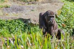 Ein sitzender Gorilla Stockfoto