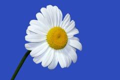 Ein Sommer-Gänseblümchen Lizenzfreie Stockbilder
