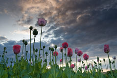 Ein Sommerfeld mit Mohnblume Stockfoto