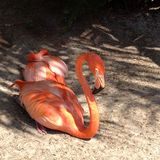 Ein Sonnenbad nehmende Flamingos Stockfotografie
